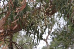 Eucalyptus Tree in Flower