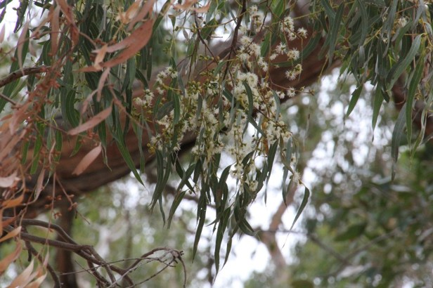 Eucalyptus Tree in Flower