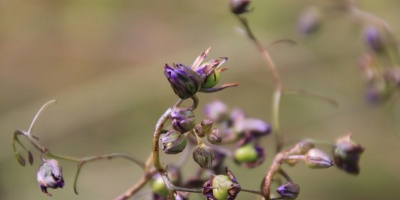Black Anthered Flax-Lily Berries