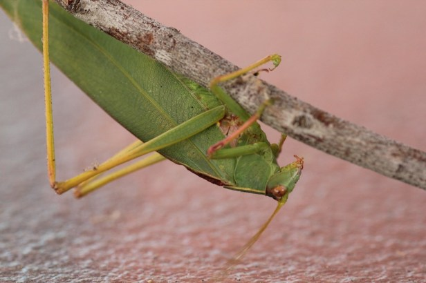 Close up:   Gum Leaf Katydid