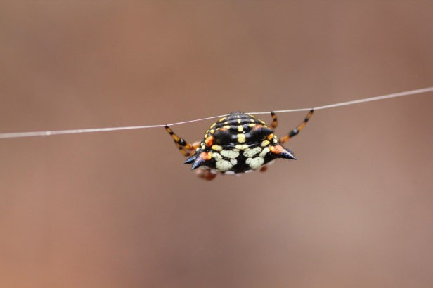 Jewell Spider 1