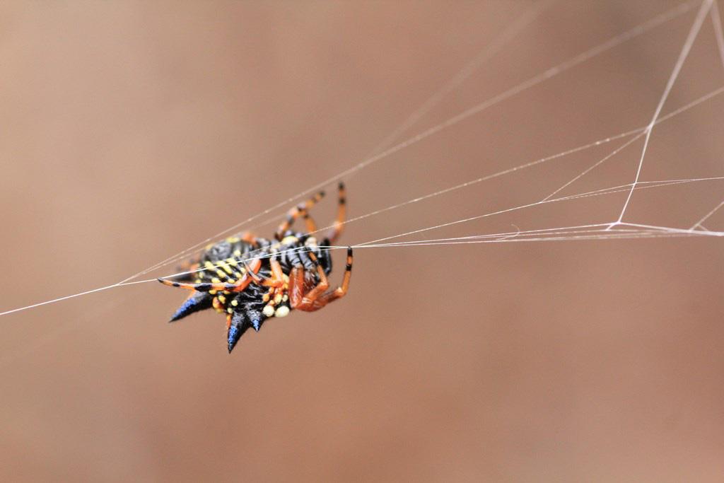 Jewell Spider (Austracanthaminax)