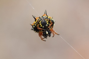 Jewell Spider 3
