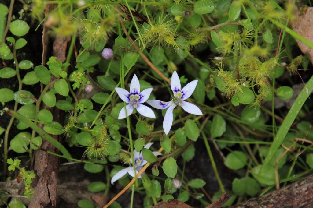 Swamp Isotome (Isotoma fluviatilis subsp.australis)