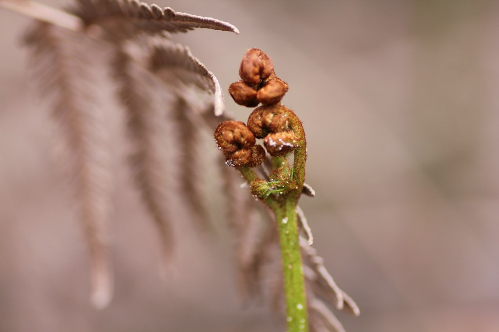 Bracken Unfurling