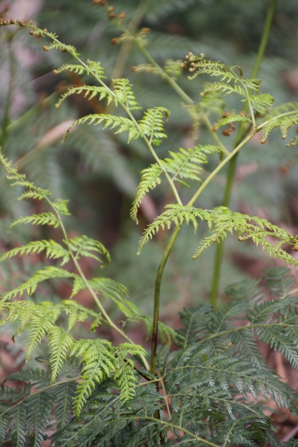 Bracken Leaf