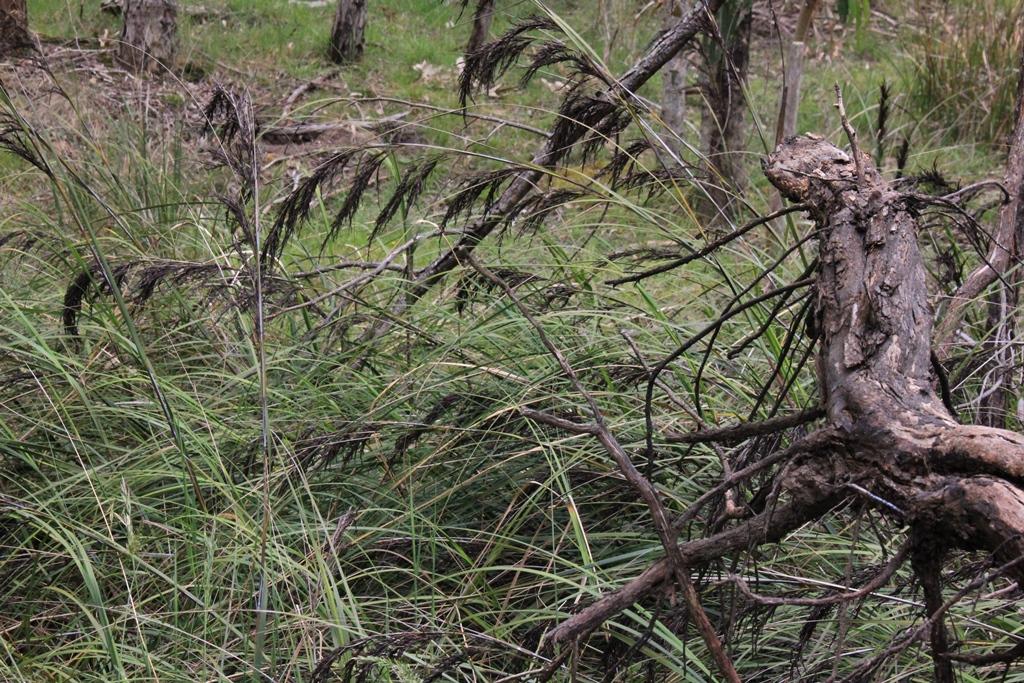 Gahnia with fallen branch