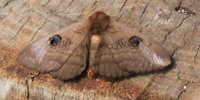 Granny Moth 1