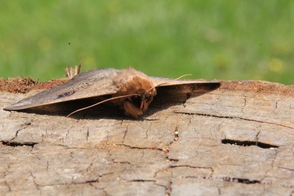 Granny Moth 2