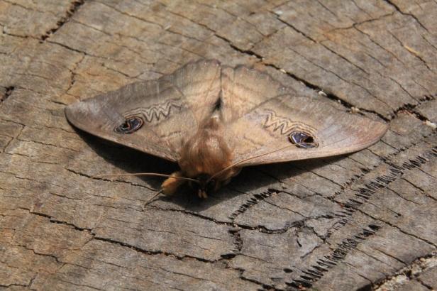 Granny Moth 3