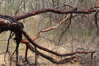 Fallen-Acacia-Tree-Landscape-Against-Dry-Scrub