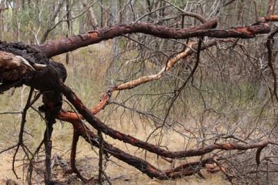 Fallen-Acacia-Tree-Landscape-Against-Dry-Scrub
