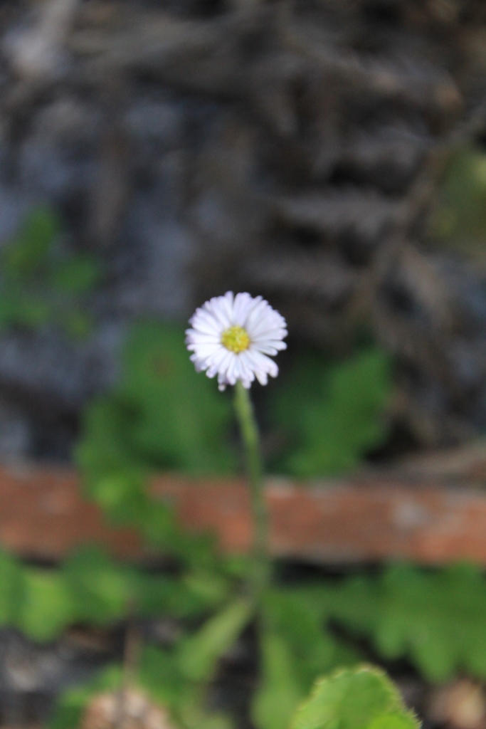 Common Bottle-daisy 3