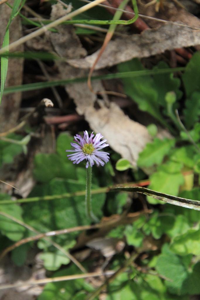 Common Bottle-daisy 2