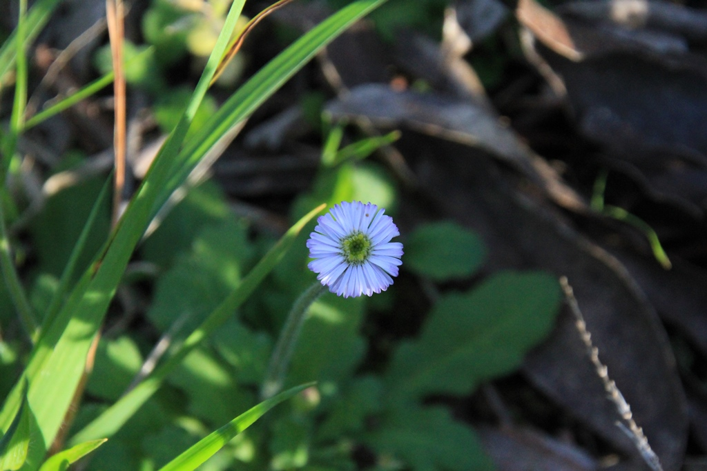 Common Bottle-daisy (Lagenophora stipitata)