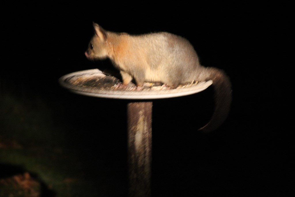 Brushtail Possum by torchlight