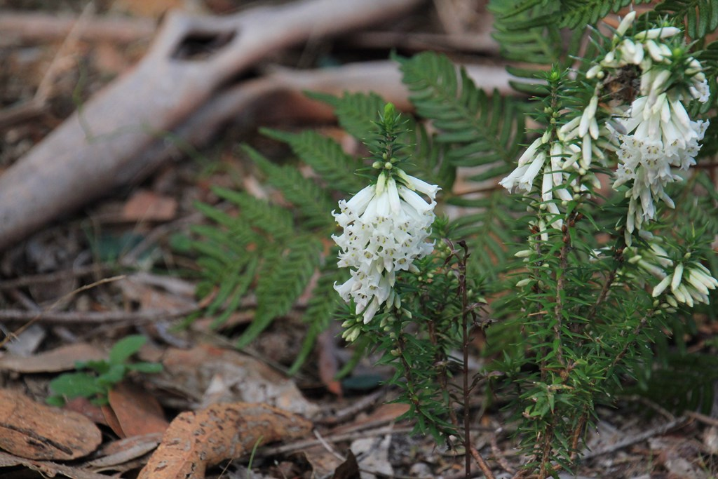 Common Heath Plant