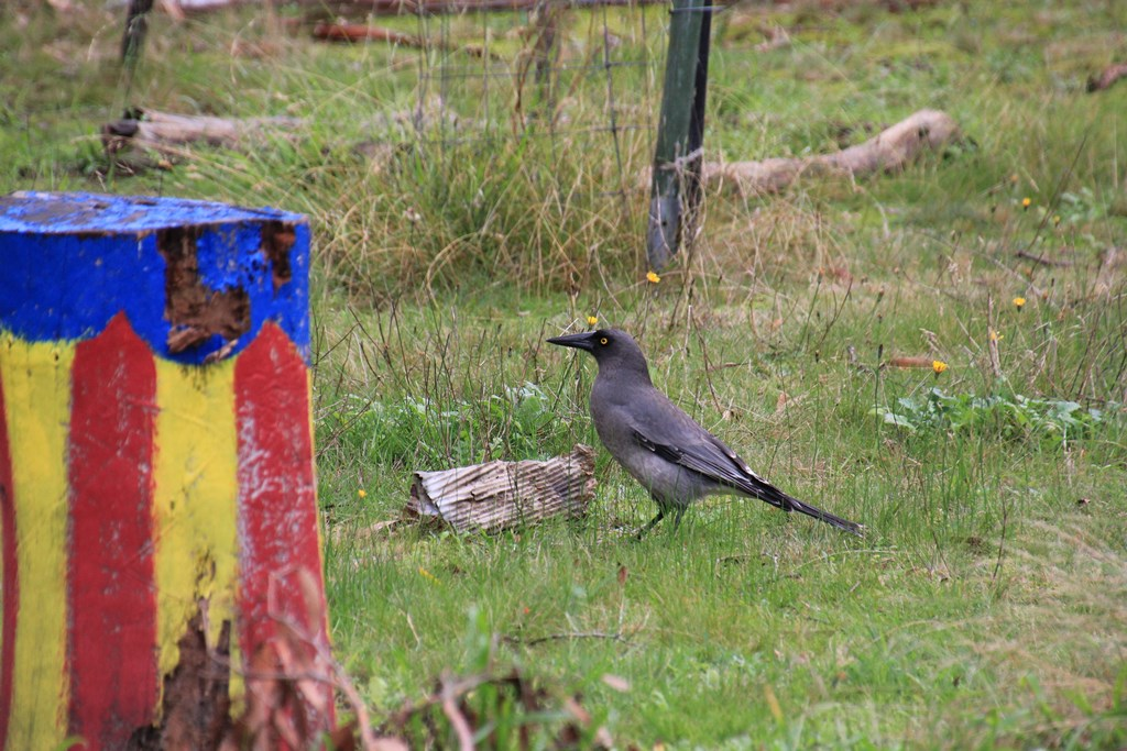 Grey Currawong with Cardboard