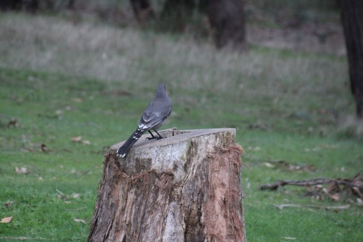 Grey Currawong on Stump