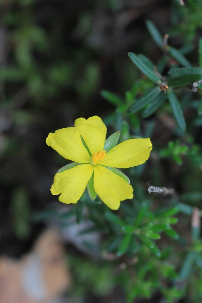 Yellow-guinea-flower-in-bloom-with-green-leaves