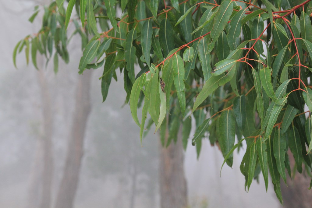 Gum Leaves With Fog