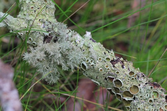 Branch-with pale-grey-green-lichen
