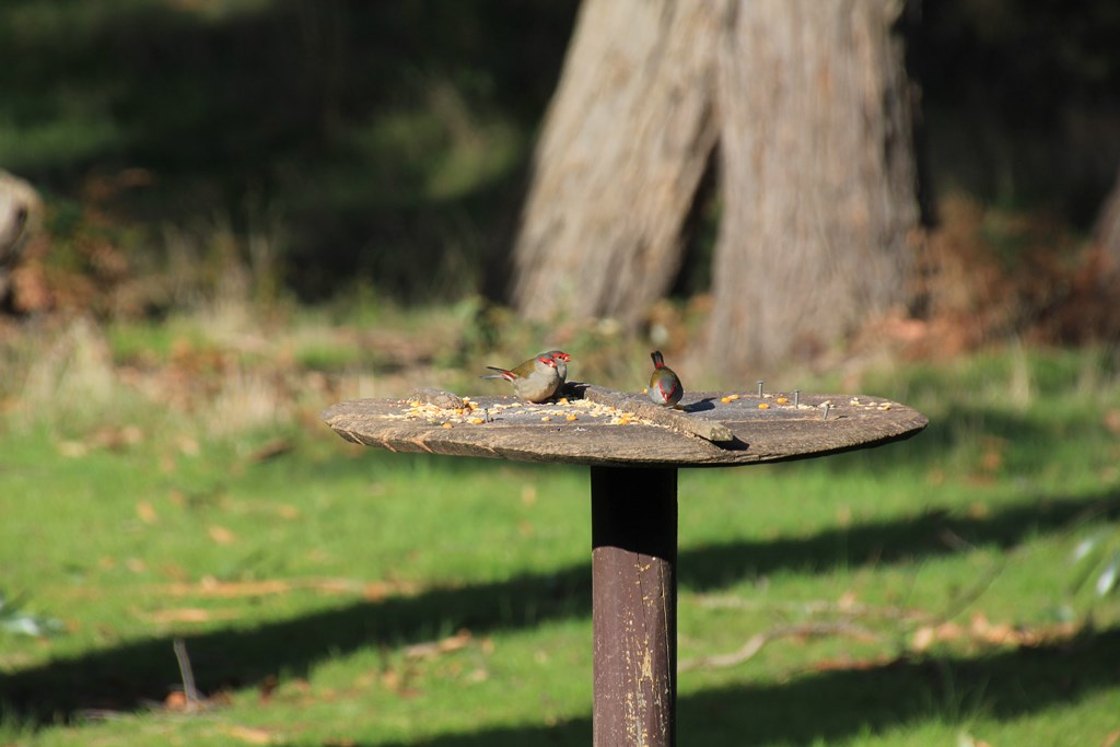 Three-red-browed-finches-on-bird-feeder