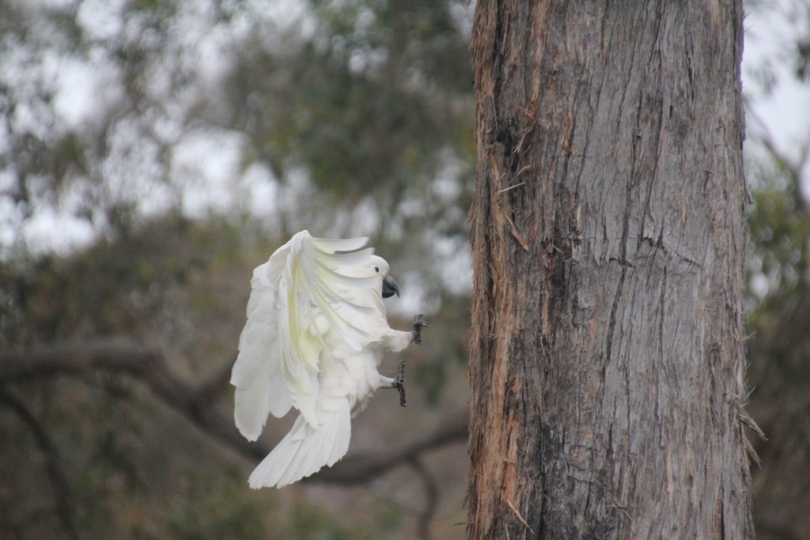 Cockatoo-about-to-land-with-feet-outstretched