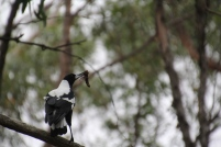 magpie-with-insect-in-its-beak