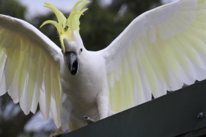 Cockatoo-with-crest-and-wings-showing