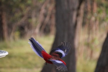 crimson-rosella-in-flight