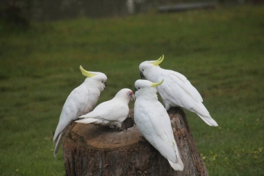 Corella-with-Cockatoos-on-tree-stump