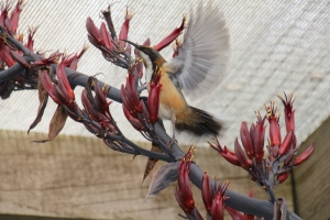 Eastern- Spinebill--with-succulent-flowers