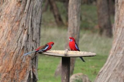 Two-Crimson-Rosella-sitting-on-a-bird-feeder