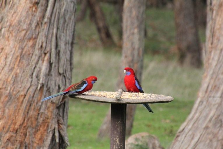 Two-Crimson-Rosella-sitting-on-a-bird-feeder