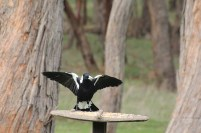 Australian-Magpie-with-wings-spread-on-bird-feeder