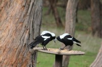 Two-Australian-Magpies-looking-at-each-other-on-bird-feeder