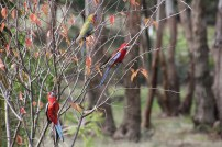 Bare-branched -tree-with-family-of-Crimson-Rosella