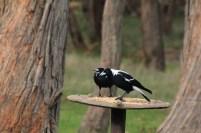 Two-Australian-Magpies-defending-bird-feeder