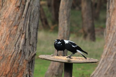 Two-Australian-Magpies-defending-bird-feeder