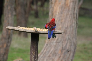 Two-adult-Crimson-Rosella-on-bird-feeder
