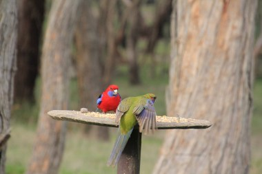 Green-back-of-young-Crimson-Rosella-on-bird-feeder