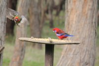 Green-back-of-young-Crimson-Rosella-with adult-crimson-Rosella