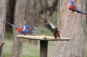 Two-Crimson-Rosella-launching-into-flight