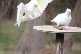 Sulphur-Crested-Cockatoo-with-wings-outstretched-about-to-land