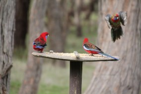 Crimson-Rosella-in-flight-at-bird-feeder