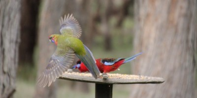 Young-green-Crimson-Rosella-in-flight.