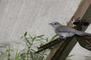 grey-shrike-thrush-sitting-on-sculpture