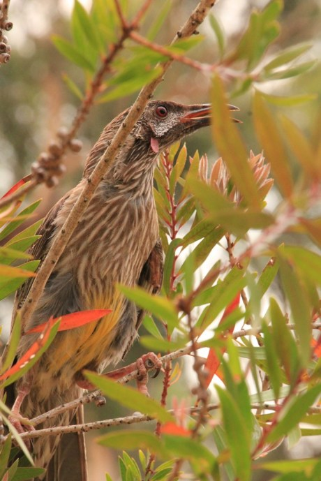 injured-red-wattle-bird-in-tree