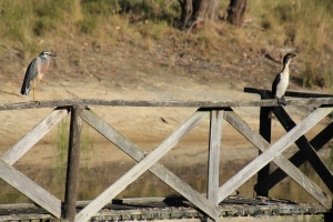 pied-cormorant-and-white-faced-heron-on-jetty